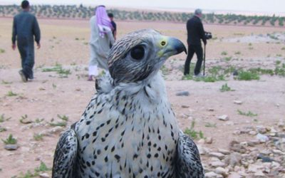 How to Play the Syrian Lottery; Catching Falcons Deep in the Syrian Desert.  Opportunity Knocks